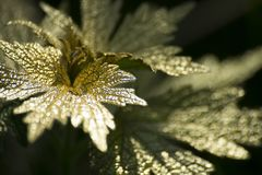Foglia di oro su fondo scuro Fotografia Stock Libera da Diritti