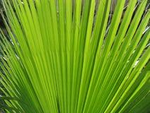 Foglia di palma Fotografia Stock