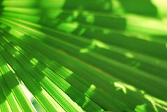Foglia di palma Fotografie Stock