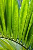 Foglia di palma Fotografia Stock Libera da Diritti