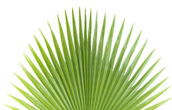 Foglia di palma. Immagini Stock Libere da Diritti