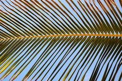 Foglia di palma Immagine Stock Libera da Diritti