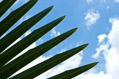 Foglia di palma Immagine Stock