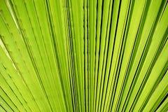 Foglia di palma Immagini Stock Libere da Diritti