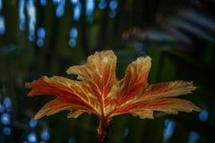 Foglia di palma arancio e gialla variopinta sulla macro vista del fondo verde scuro fotografia stock libera da diritti