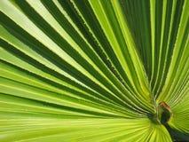 Foglia di palma caraibica Fotografia Stock
