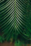 Foglia di palma d'attaccatura verde intenso Fotografie Stock Libere da Diritti