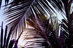 Foglia di palma dei Cochi sul fondo del cielo di tramonto Bella foto di foglia di palma con il tono lunatico di effetto Immagini Stock Libere da Diritti
