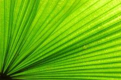 Foglia di palma del ventilatore Fotografia Stock