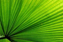 Foglia di palma del ventilatore fotografia stock libera da diritti