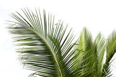 Foglia di palma della noce di cocco su un'azienda agricola Fotografia Stock