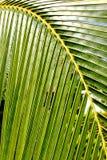Foglia di palma della noce di cocco Immagini Stock