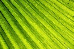 Foglia di palma della noce di cocco Fotografia Stock