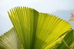 Foglia di palma dello zucchero Fotografie Stock