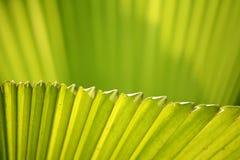 Foglia di palma dello zucchero Immagini Stock