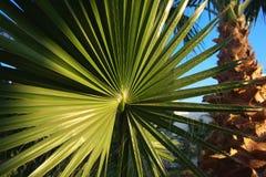 Foglia di palma e palma Fotografie Stock