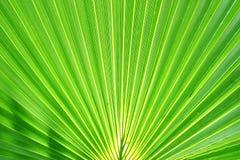 Foglia di palma esotica Fotografia Stock