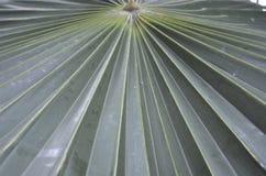 Foglia di palma fuori smazzata Fotografia Stock