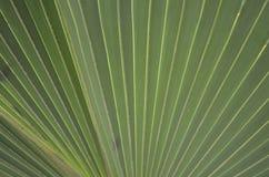 Foglia di palma fuori smazzata Fotografie Stock Libere da Diritti