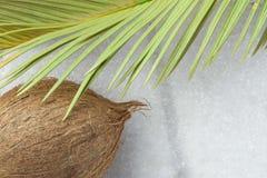 Foglia di palma giallastra verde appuntita della natura della noce di cocco matura tropicale del fondo bruciacchiata dal Sun Esta Fotografie Stock