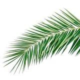 Foglia di palma isolata Fotografia Stock
