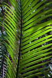 Foglia di palma nella giungla Fotografia Stock