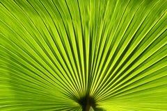 Foglia di palma verde Fotografia Stock