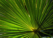 Foglia di palma verde Fotografie Stock Libere da Diritti