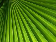 Foglia di palma verde Immagine Stock