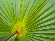 Foglia di palma verde fotografia stock libera da diritti
