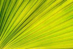 Foglia di palma verde Immagini Stock Libere da Diritti