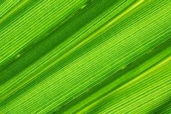 Foglia di palma verde Immagini Stock