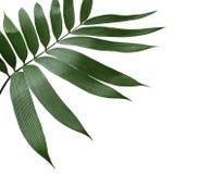 Foglia di palma verde isolata su bianco con il percorso di ritaglio Fotografie Stock Libere da Diritti