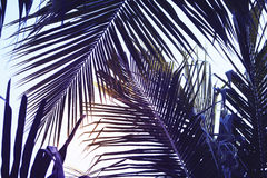 Foglia di palma verde sopra il fondo del cielo Bella foto di foglia di palma con il tono lunatico di effetto Fotografie Stock