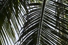 Foglia di palma verde sopra il fondo del cielo Bella foto di foglia di palma per fondo Fotografie Stock Libere da Diritti