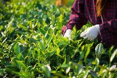 Foglia di raccolto dal campo della piantagione di tè a tempo la mattina, chau di Moc Fotografia Stock Libera da Diritti