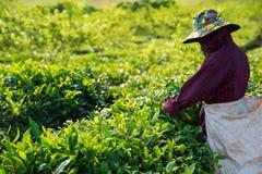 Foglia di raccolto dal campo della piantagione di tè a tempo la mattina, chau di Moc Immagine Stock Libera da Diritti