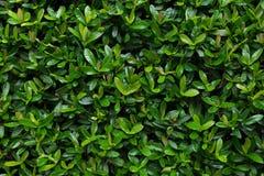 Foglia di rubiaceae fotografia stock libera da diritti