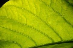 Foglia di struttura delle foglie dietro la luce di The Sun Immagini Stock Libere da Diritti