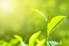 Foglia di tè Immagine Stock