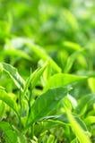 Foglia di tè Immagini Stock