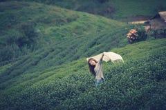 Foglia di tè asiatica di raccolto della donna in piantagione, Th della montagna di Angkhang Fotografia Stock