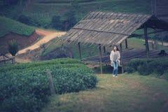 Foglia di tè asiatica di raccolto della donna in piantagione, Th della montagna di Angkhang Fotografia Stock Libera da Diritti