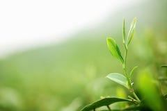 Foglia di tè con la piantagione Fotografie Stock Libere da Diritti