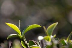 Foglia di tè con verde chiaro nei precedenti Fotografie Stock