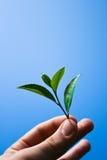 Foglia di tè della holding Fotografie Stock