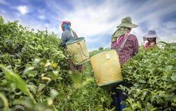 Foglia di tè di raccolto della raccoglitrice del tè sulla piantagione Fotografia Stock