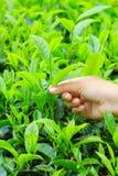 Foglia di tè e mano Fotografia Stock