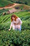 Foglia di tè felice asiatica di raccolto della donna nel campo sul moun di Angkhang di doi Fotografie Stock
