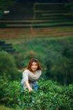 Foglia di tè felice asiatica di raccolto della donna nel campo sul moun di Angkhang di doi Fotografia Stock